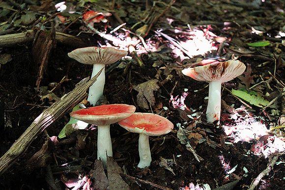 Pickins nose mushrooms