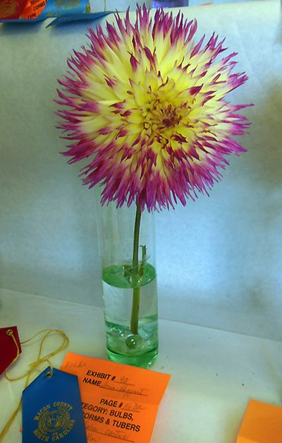 Flower show Dahlia pink-yellow