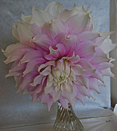 Flower show Dahlia pink
