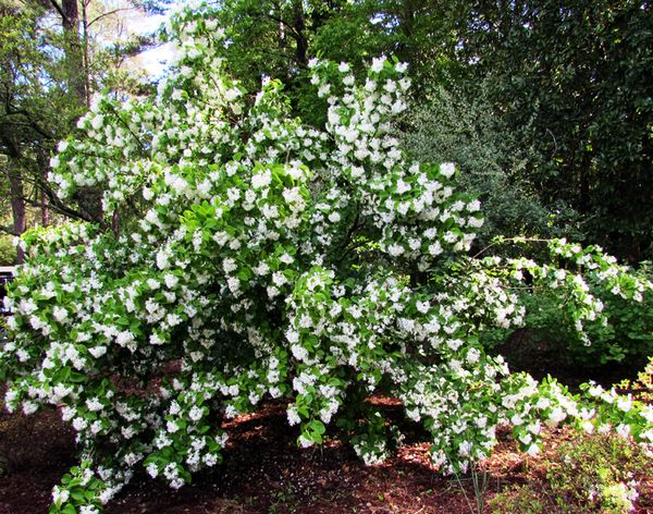 Callaway white flower tree