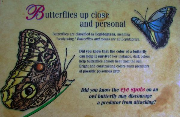 Butterfly info