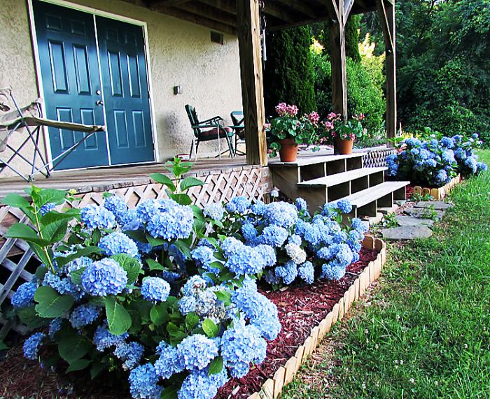 Blue hdrangeas