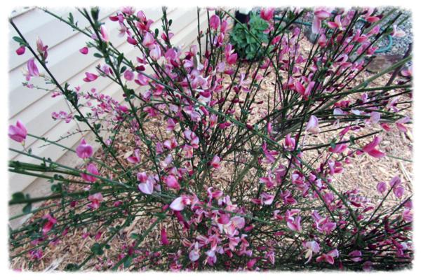 Pink grass plant 2