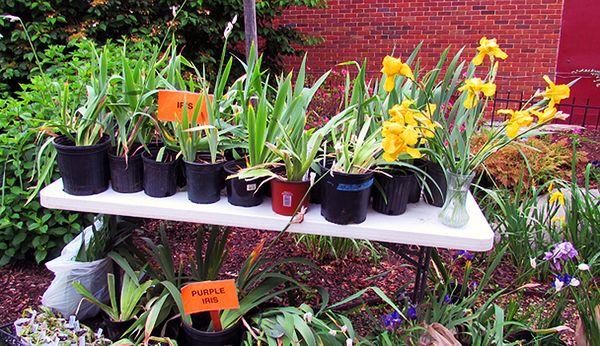 Fgcplantsale iris table