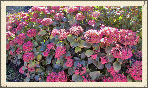 France hydrangeas pink