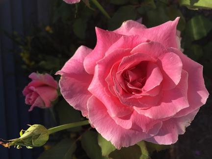 Linda's rose 2