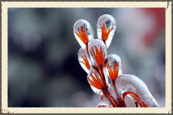 Frozen-ice-Flower-After-Ice-Storm