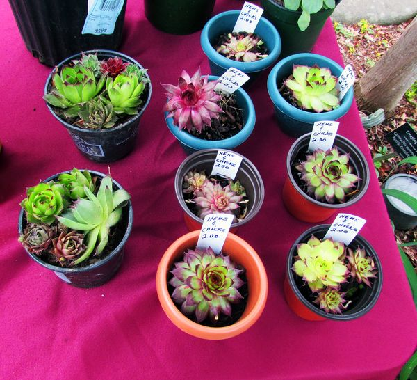 Fgc plant sale hens and chicks