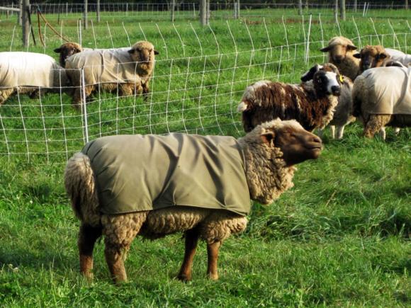 MI sheep