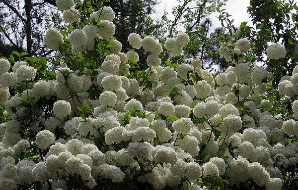 Callaway snowball flowers