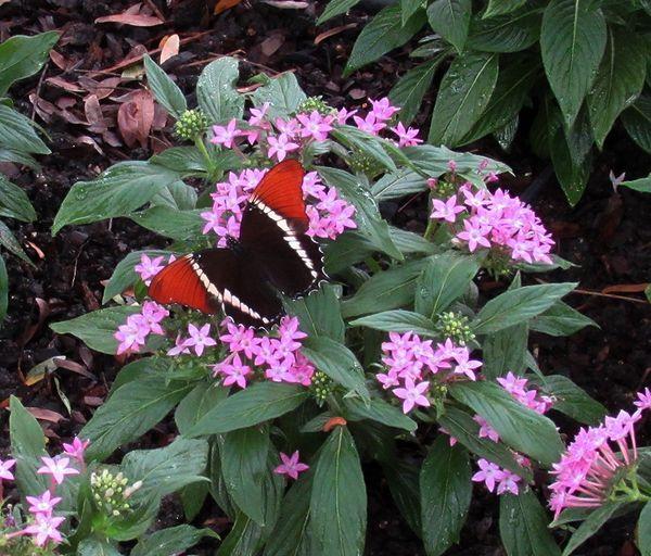 Callaway butterfly 2