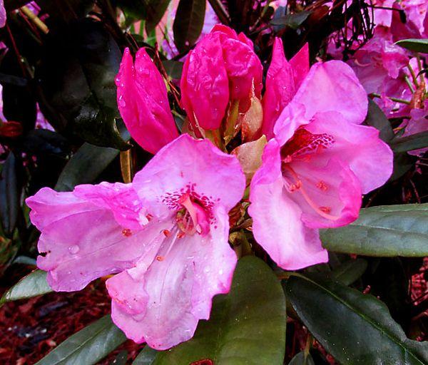 Cal flower buds