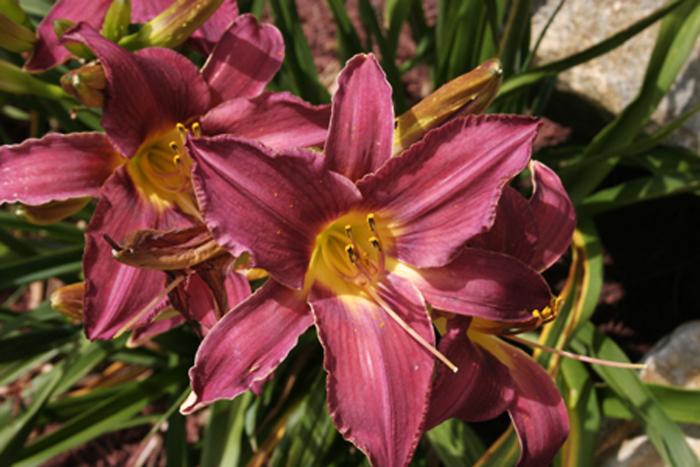 Lily garden Mauve