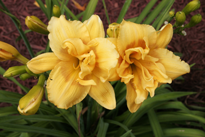 Lily garden double yellow
