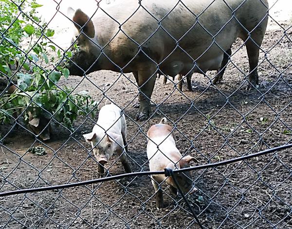 Mi pigs