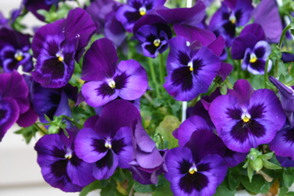 Purple_pansies