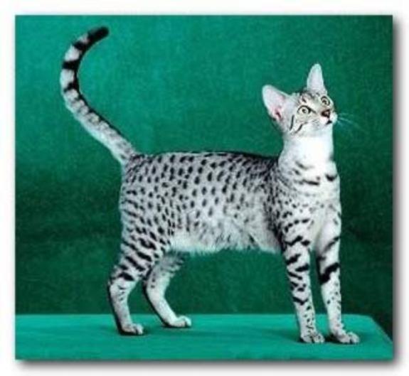 Cat_shat
