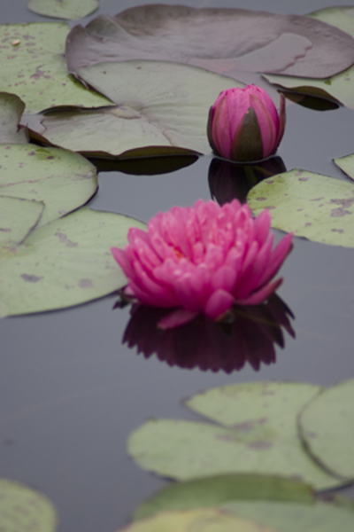 Water_lily_1_2