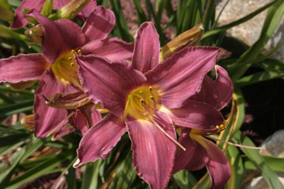 Lily_garden_mauve