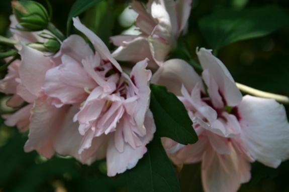 Biltmore_pink