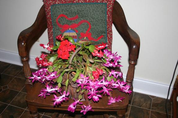 Christmas_cactus